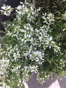 """Euphorbia """"Diamond Snow"""""""