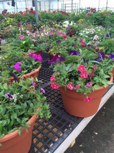 12 inch Combo Pots - Petunias