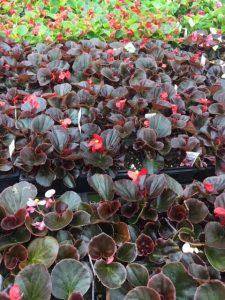 Bronze Leaf Begonias